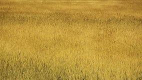 Rye field under wind whiff stock footage