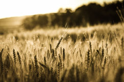 Rye field Royalty Free Stock Images