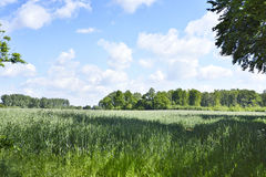 Rye field or wheat field in the sun. Ears of rye, nature background with copy space. Cereals plants in the sun stock photo