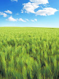 Rye field or wheat field in the sun. Ears of rye, nature background with copy space. Cereals plants in the sun royalty free stock photo