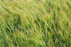 Rye field in the wind. End of the summer in ireland, plantation of the rye Royalty Free Stock Photo
