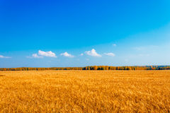 Rye field Royalty Free Stock Photos