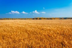 Rye field Royalty Free Stock Image