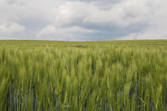 Rye field. Field with young rye and clouds in the background Royalty Free Stock Images