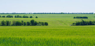 Rye fields Stock Photography