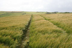 Rye forever. End of the summer in ireland, plantation of the rye on the irish coast, cork county Royalty Free Stock Photo