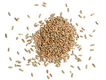 Rye Grain on White Background. Malted rye photographed on a white background.  Malted grains are used in many baked and brewed products such as bread and beer Royalty Free Stock Photography