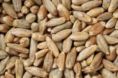 Rye grains at life-size Royalty Free Stock Photo