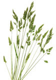 Rye Grass Royalty Free Stock Image