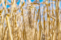 Rye grass field. Ripe grain spikelets. Cover crop and a forage crop. Agricultural concept stock photography