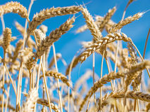 Rye grass field. Ripe grain spikelets. Cover crop and a forage crop. Blue sky background. Agricultural concept Royalty Free Stock Photo