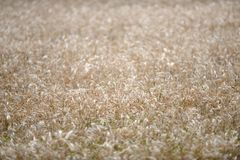Rye Grass Royalty Free Stock Photography