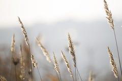 Rye grasses in winter Stock Photos