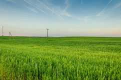Rye green field and blue sky. Rye green field with a power line and the blue sky Stock Image
