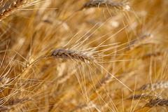 Rye before harvest. Stock Photo