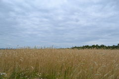 Rye. How beautiful summer field summer.Spruce Royalty Free Stock Photos
