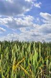 Rye im Himmel Stockbild