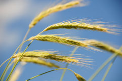 Free Rye In The Wind Stock Images - 6567464