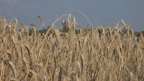 Rye ist ein Gras, das weitgehend als Korn, Deckfrucht und Futterpflanze gewachsen wird stock video footage