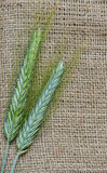 Rye on jute texture background. Ears of rye crop on rough burlap background Royalty Free Stock Photography