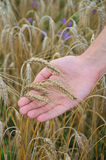 Rye lie on hand. Ears rye lie on hand Royalty Free Stock Images