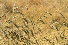 Rye mûr dans un domaine soufflant dans le vent et plié des précipitations photos stock