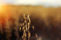 Rye-Nahaufnahme, Hintergrund wird verwischt Stockfoto