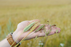 Rye, oats, wheat and triticale in the palm of the hand on the background of an earful field Royalty Free Stock Photo