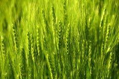 Rye-Ohr-Hintergrund Lizenzfreies Stockbild