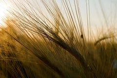 Rye-Ohren in der Sonne lizenzfreies stockfoto