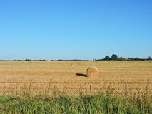 Rye plants rick in field, Lithuania. Rye plants rick after trump in summer Stock Photo