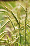 Rye plants (Secale cereale). Organic rye plants on a field Stock Images