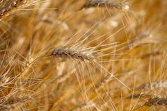 Rye prima della raccolta. Fotografia Stock