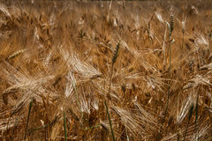 Rye. Ready for harvest in serbia royalty free stock photos