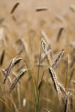 Rye - Secale cereale. Corn in detail shot Royalty Free Stock Photos