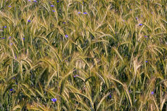 Rye(Secale cereale) ears closeup with Cornflowers Stock Photography
