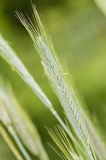 Rye (Secale cereale) wheat spike. Rye (Secale cereale) is a grass grown extensively as a grain and as a forage crop Royalty Free Stock Photos