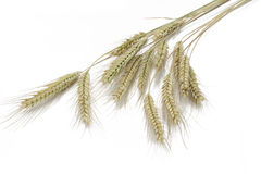Rye (Secale cereale) on white. Background Royalty Free Stock Image