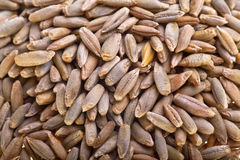 Rye seeds. Dried rye seeds, close-up royalty free stock photos