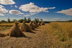 Free Rye, Sheafs Stock Photography - 16974672