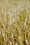 Rye spike against the yellow field Stock Photography
