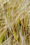 Rye spikelets on the background of a yellow field Royalty Free Stock Photo