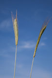 Rye, spikes, close-up against blue sky Royalty Free Stock Image