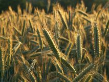 Rye in sunset royalty free stock photography