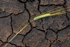 Rye sur la terre criquée Photographie stock libre de droits