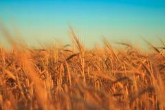 Rye, trigo Imagens de Stock