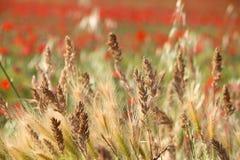Rye und Weizen Stockfoto