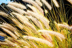 The rye was beginning to ear. (tenerife, Canary Islands, Spain Royalty Free Stock Photography