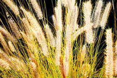 The rye was beginning to ear. (tenerife, Canary Islands, Spain Royalty Free Stock Images