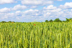 Rye wheat field and blue sky with clouds background Royalty Free Stock Photography